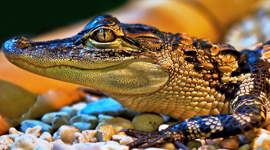 Beautiful Alligator HD image